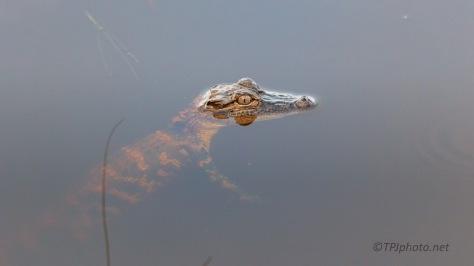 A Baby, Alligator