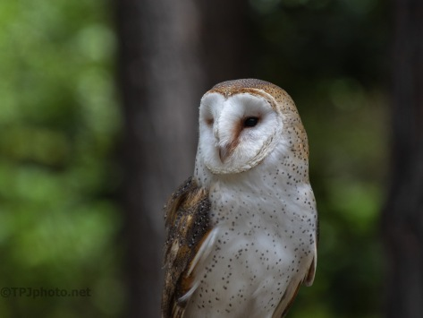 Barn Owl, Portrait Style