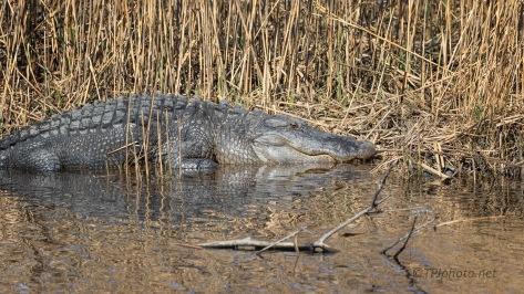 Along The Bank, Alligator