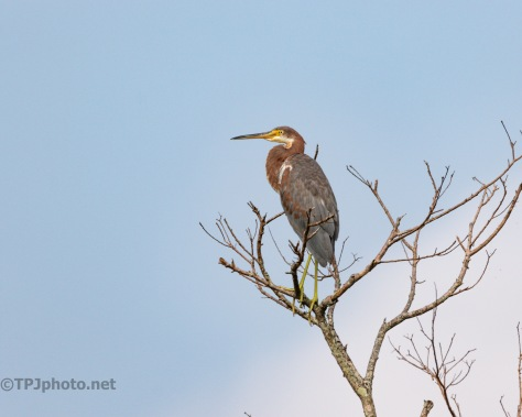 My Second Meeting, Tricolored heron