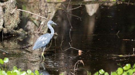 Little Blue Heron, Almost Blue