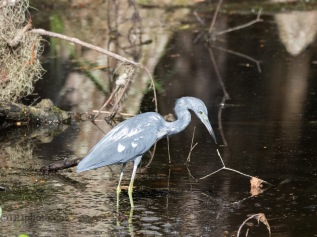 Little Blue Heron, Almost Blue