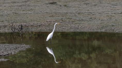 Great Egret In A Marsh