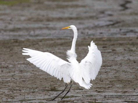 Look Good Even Landing In Mud, Egret