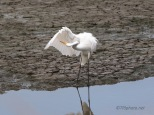Getting All Pretty, Great Egret