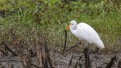 Great Egret Catches A Siren