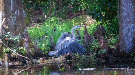 Arrival, Great Blue Heron