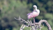 All By Himself, Spoonbill