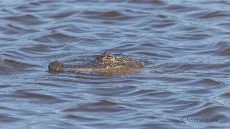 A Familiar Face, Alligator