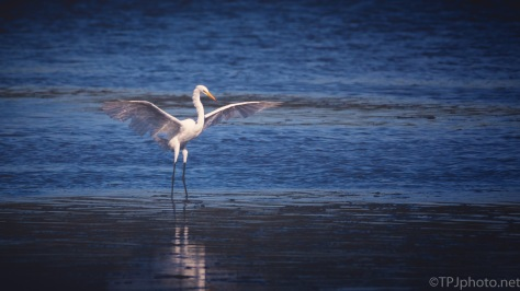 Egret, A Grand Entrance