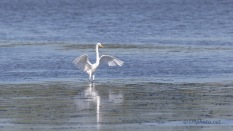 Smooth And Easy, A Great Egret