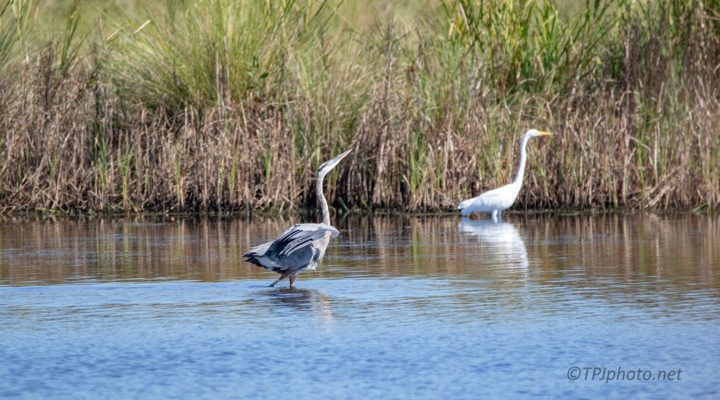 Ready For Trouble, Great Blue Heron And Great Egret
