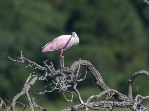 Spoonbill, Being Silly
