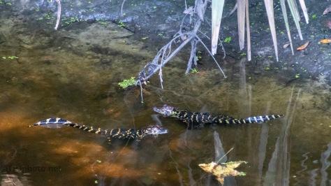 Almost Missed Then, Alligator