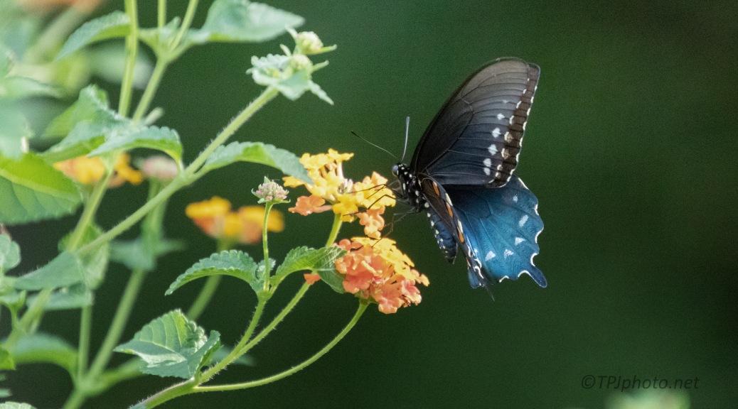 Butterfly, In A Garden (1)