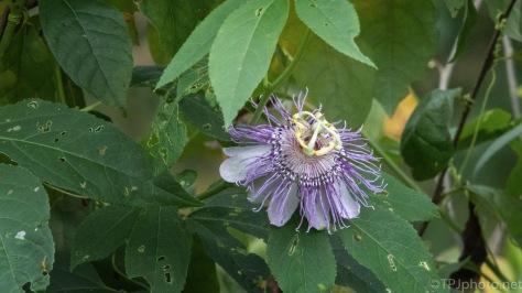 Passion Flower...Or Maybe Alien