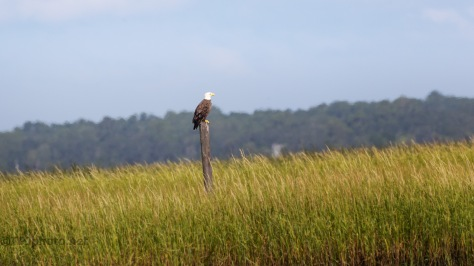 Watching Over The Salt Marsh, Bald Eagle