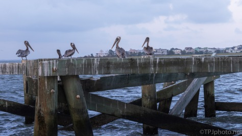 Under The Bridge, Pelicans