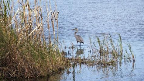 Edge Of A Marsh, Heron
