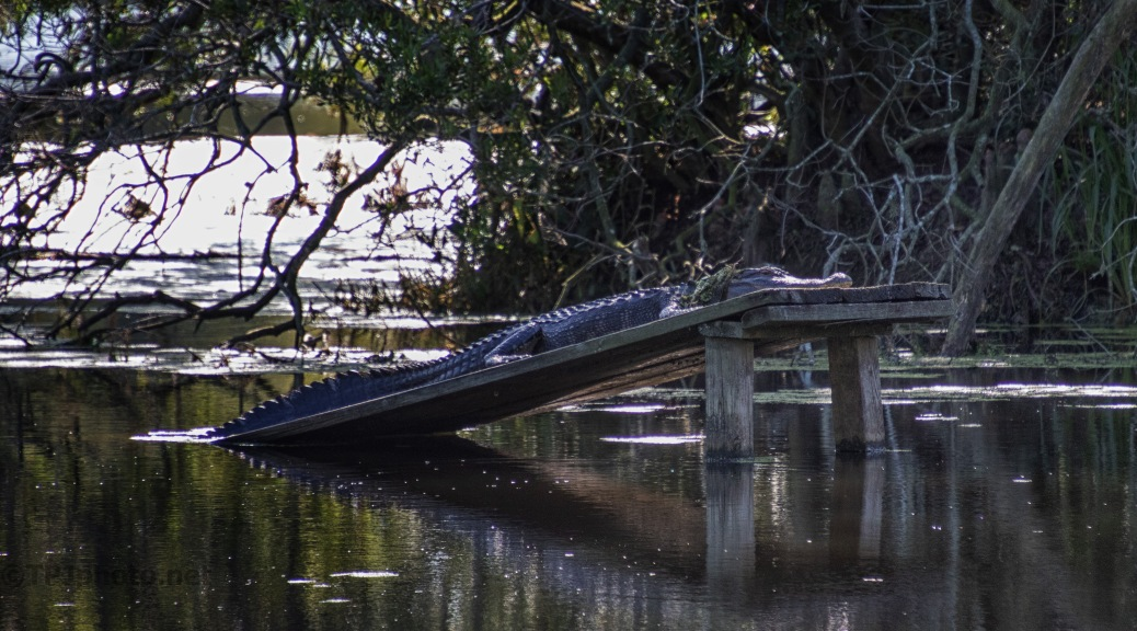 Sleeping In The Shade, Alligator