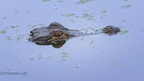 Alligator Time (2)