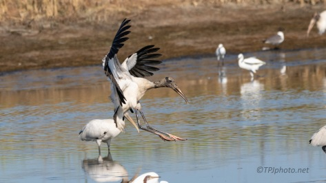 Landing In The Middle, Wood Stork