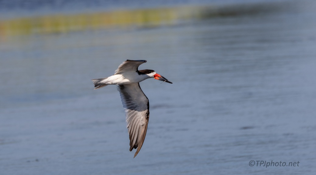 Skimmers Over A Marsh