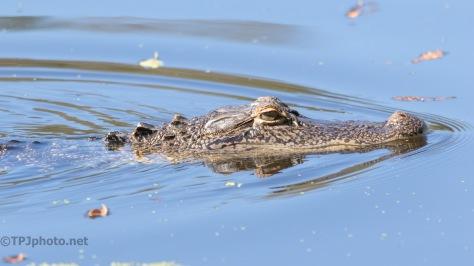 Moving Through, Alligator
