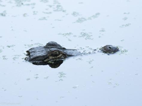 Alligator Laying Low