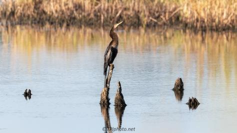 Balancing Act, Anhinga