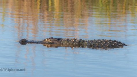 Locals Out And About, Alligator