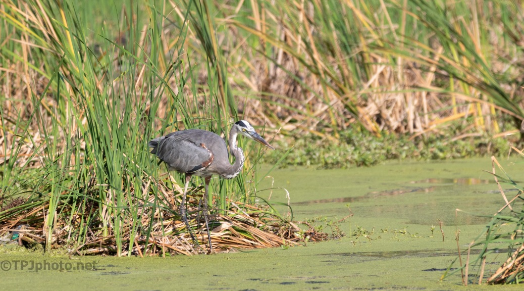 Another Heron Playing The Waiting Game