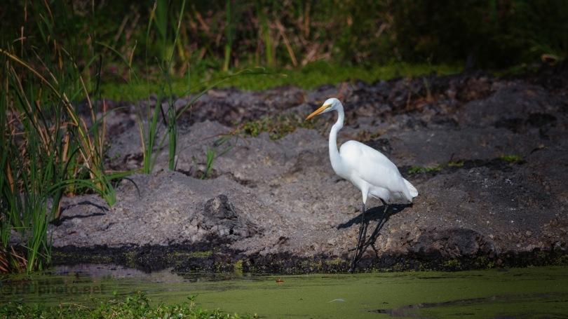 Egret On A Marsh Bank
