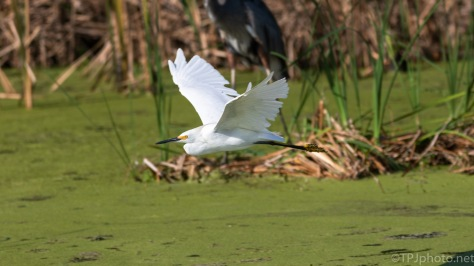 Snowy Egret, Stole The Scene