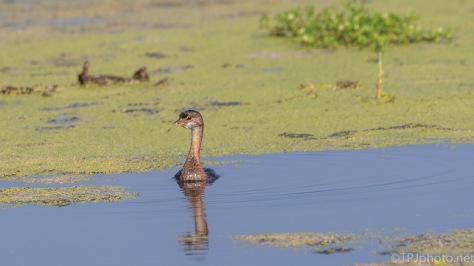 Pied-billed Grebe, In Duck Weed