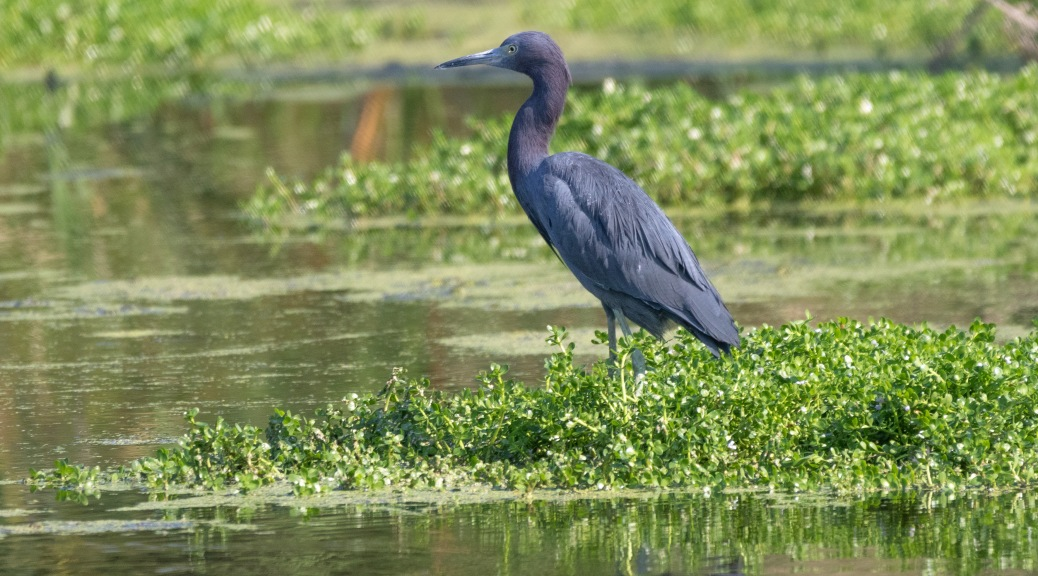Little Blue Heron, Showing His Colors