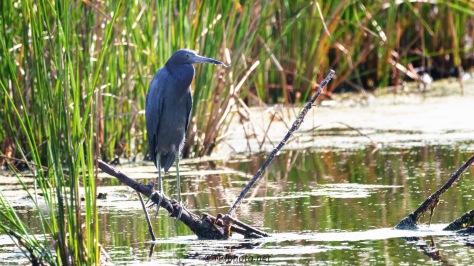 Little Blue Heron, Cattail Marsh