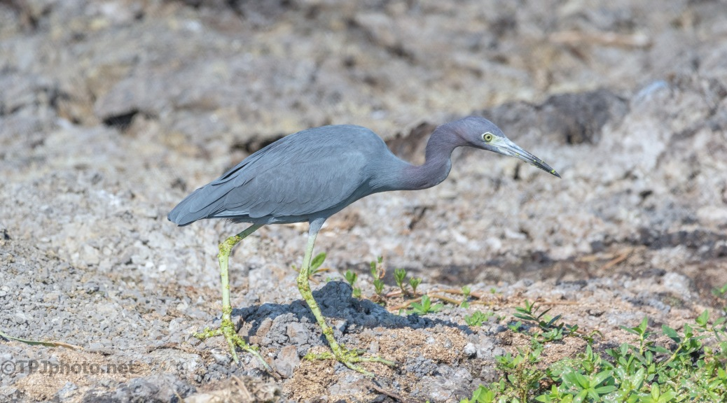 Little Blue Heron On The Hunt