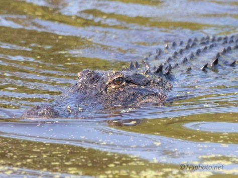 A Rush To Get There First, Alligator