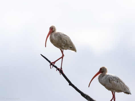 Sometimes Things Work Out, Ibis