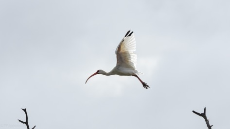 Ibis, Making An Exit