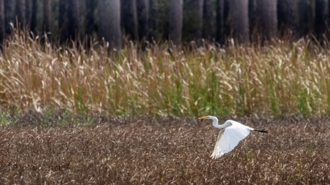 Over A Marsh, Great Egret