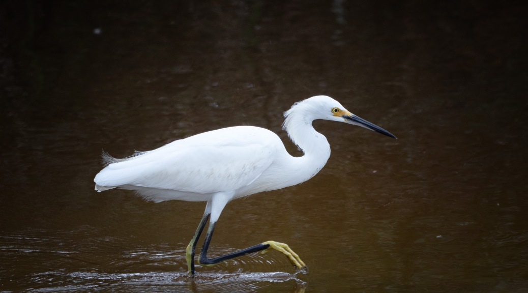 Looking Just Elegant, Snowy Egret