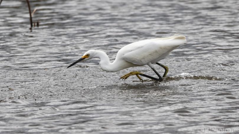 Chasing Dinner, Low Tide
