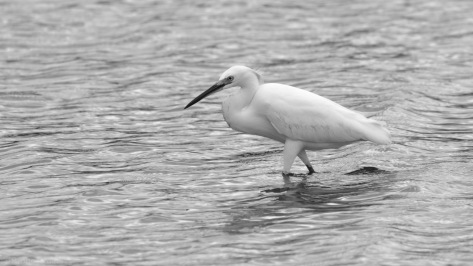 Snowy Egret, B&W