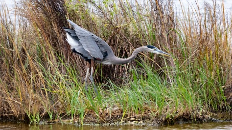 Poking Around The Shore, Heron