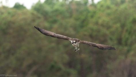 Bending Backwards, Osprey