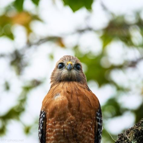 Red-shouldered