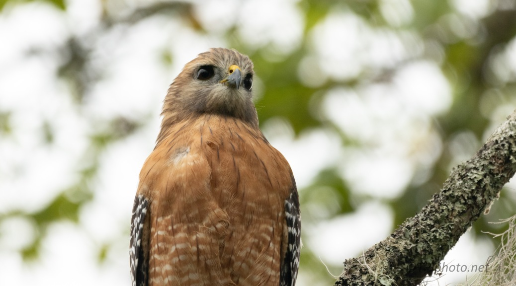 Red-shouldered Hawk, Must like the area