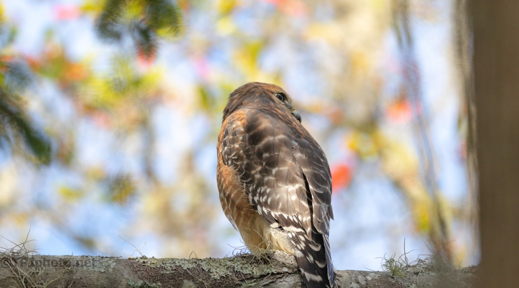 Checking On Me, Red-shoulder Hawk